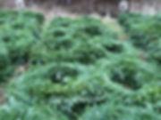 big balsam fir wreaths
