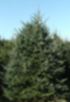 Old Fashioned Fraser Fir