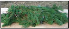 white pine bundles