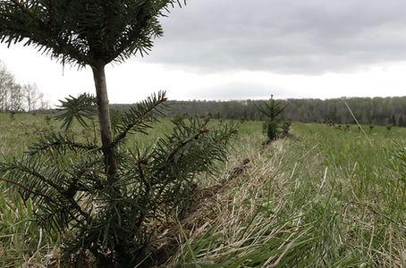 Planter des nouveau arbres de noel
