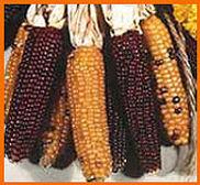 small indian corn