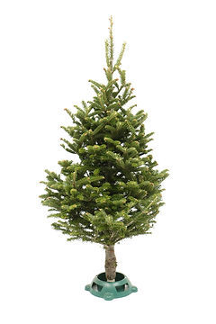 Fraser Fir Table Top Christmas Tree