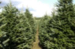 Fraser Fir Christmas Tree Plantation