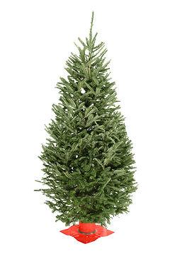 Balsam Fir #2 Grade Christmas Tree