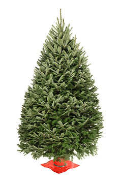 Balsam Fir Premium Christmas Tree