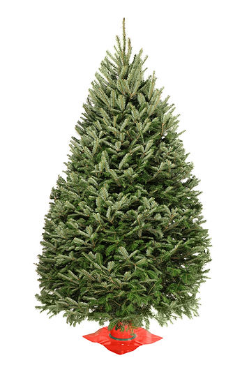 Premium Balsam Fir Christmas Tree