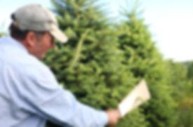 person shearing a fraser fir