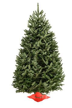 Balsam Fir #1 Grade Christmas Tree