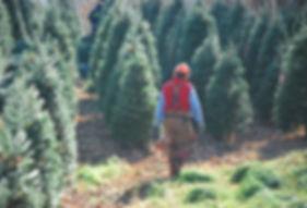 récolte d`arbres de noel