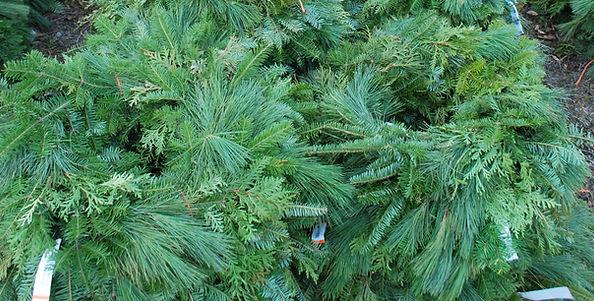couronnes mixte baumier pin blanc et cedre