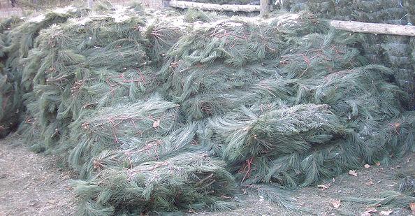 many white pine bundle branches
