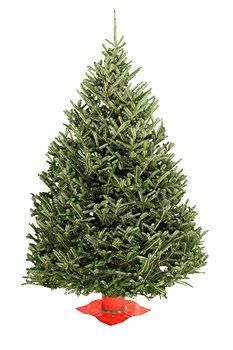 Fraser Fir #1 Grade Tree