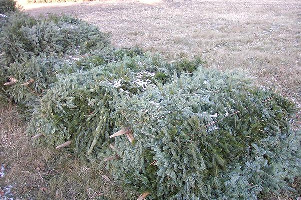 many balsam fir branches on sticks