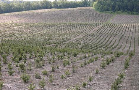 Plantation de nouveau arbres de noel