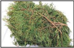 cedar bundle branches