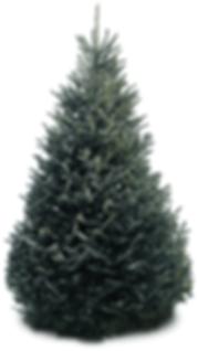 Premium Fraser Fir Christmas Tree