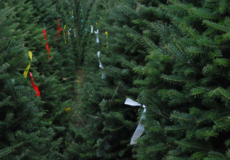 christmas trees graded with tags