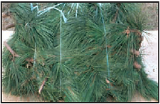 red pine bundle branches