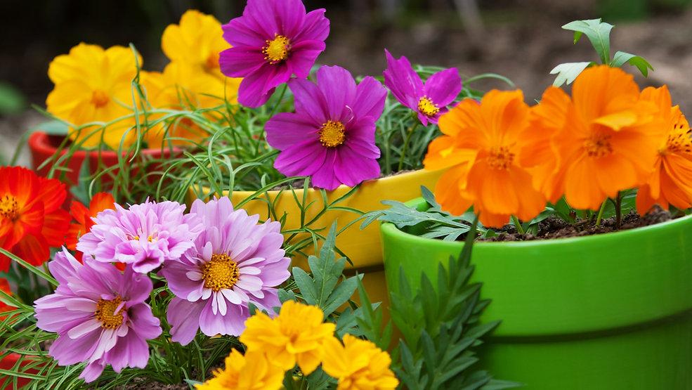fleurs dans des pots