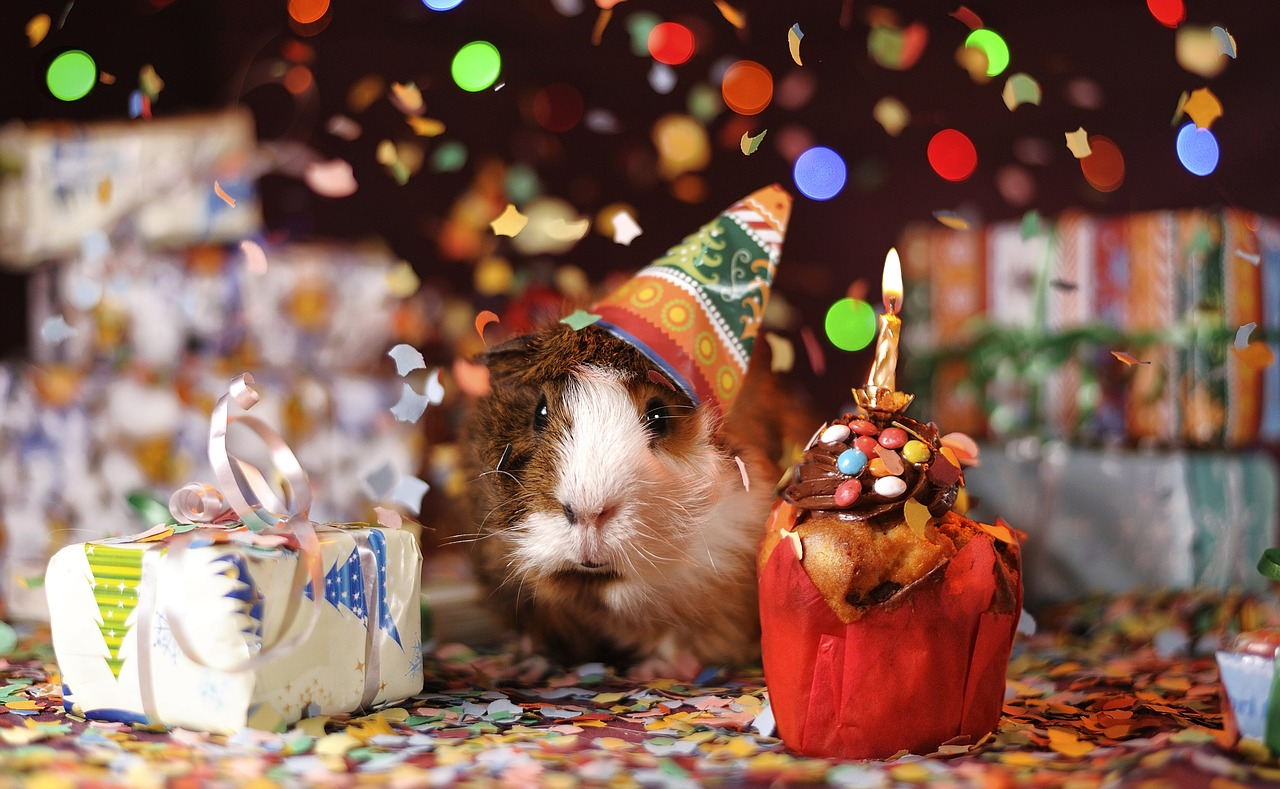 guinea-pig-1969698_1280