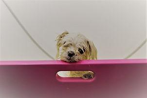 Lola Maltese bath2 (2).jpg