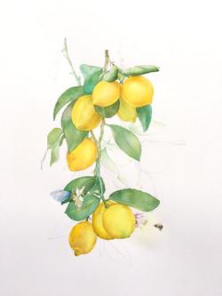 Lemon Composition