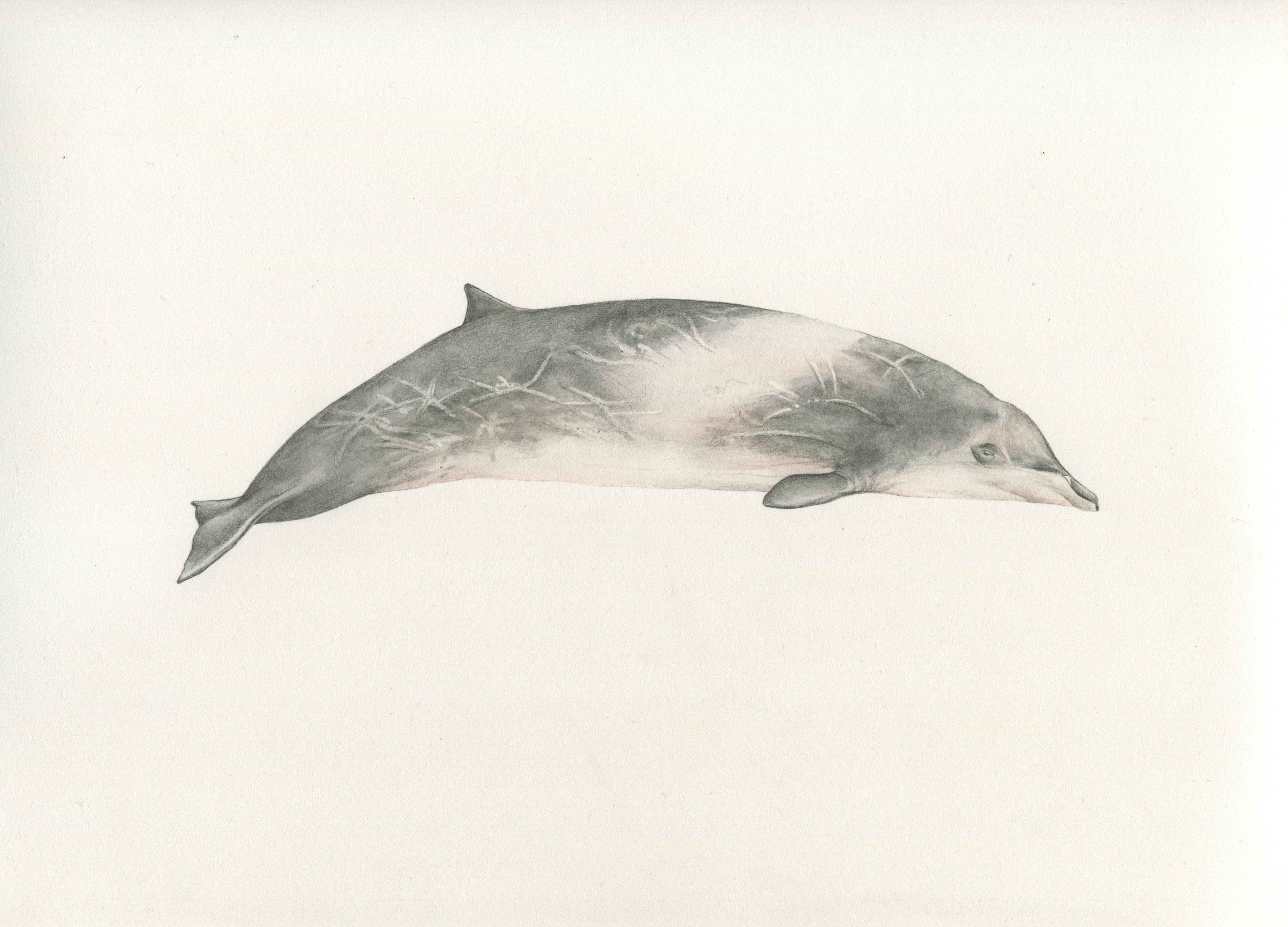 Delfín Picudo del Perú