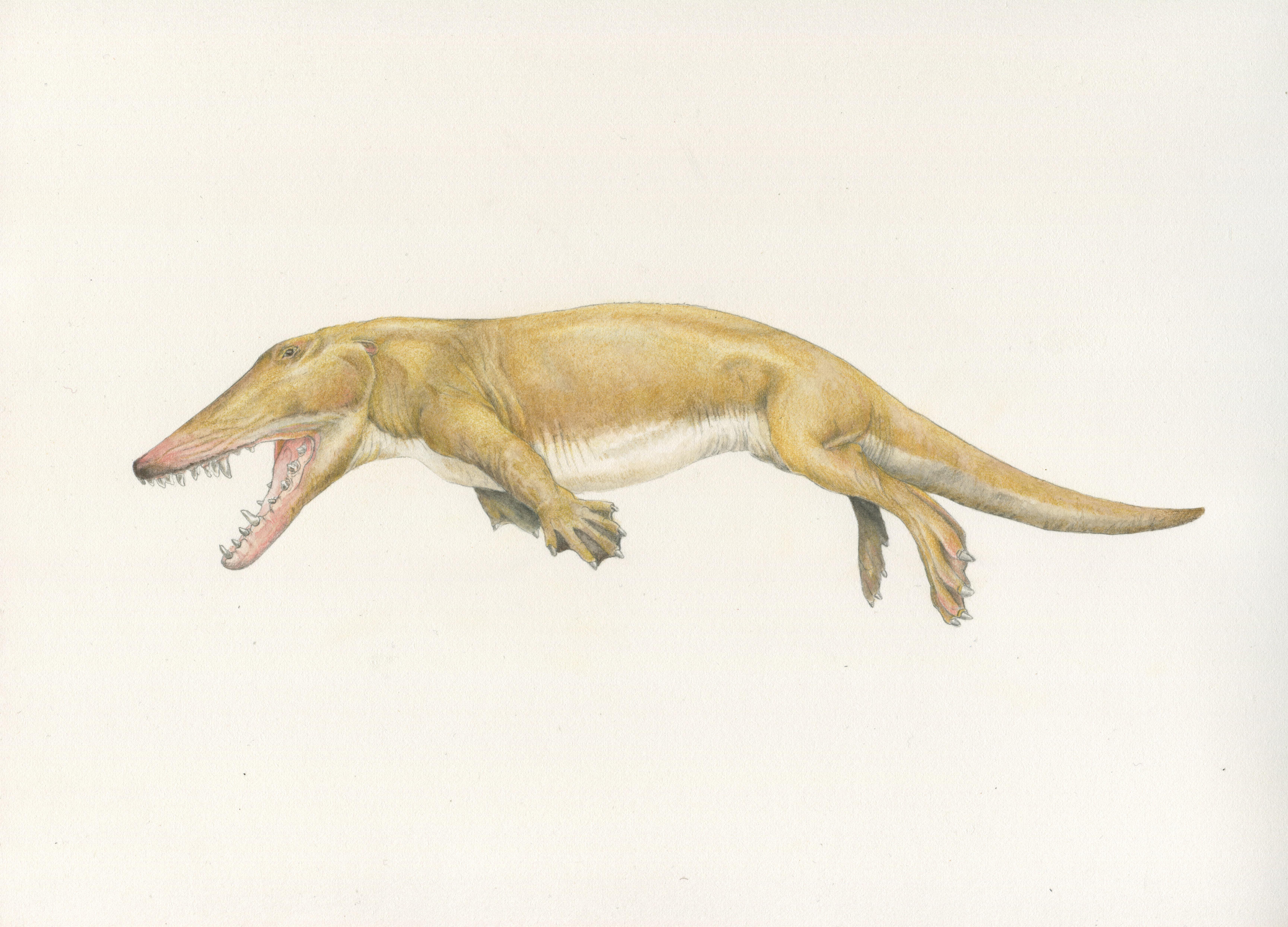 Ambolocetus