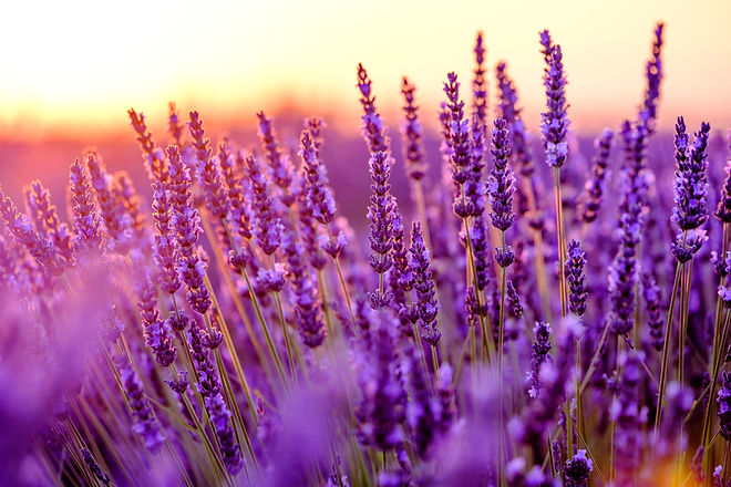 Blooming lavender in a field at sunset i