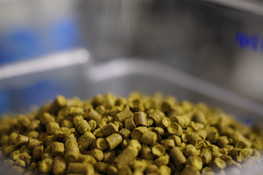 Hops going in to the tank