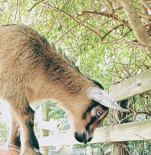 goat2_edited.jpg