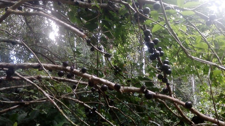 Jaboticaba fruit from our exotic orchard