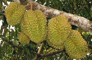 Durians from our exotic fruit orchard in Kuranda