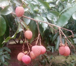 Lychees from our exotic orchard