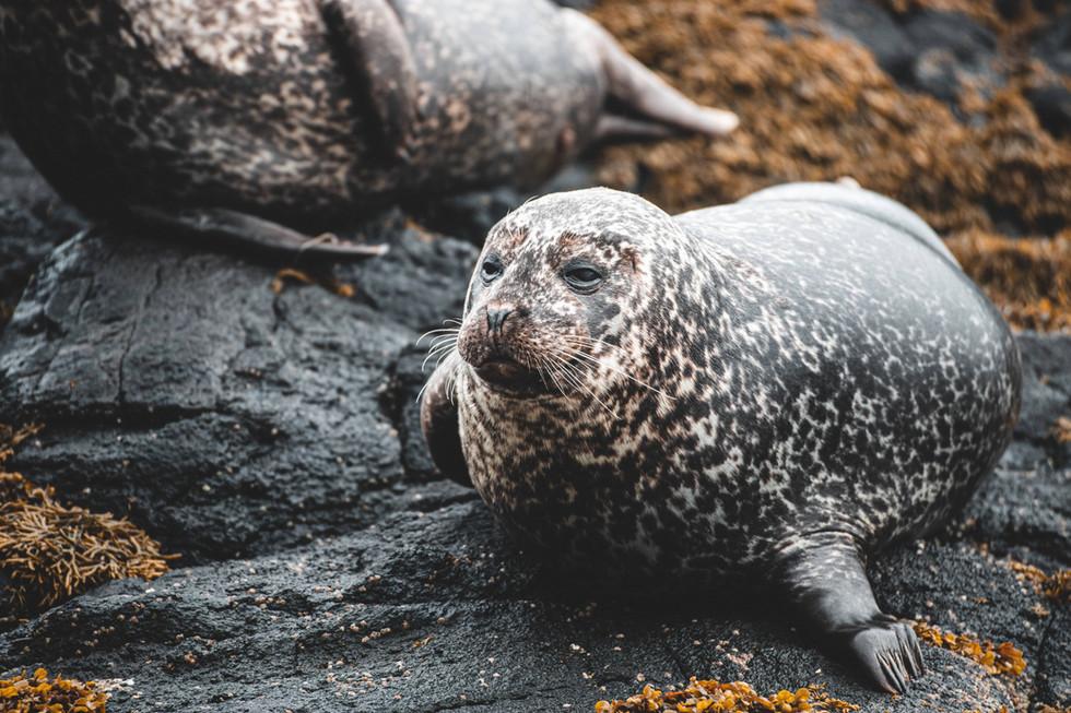 Seal, wildlife, seal trip, highland & islands