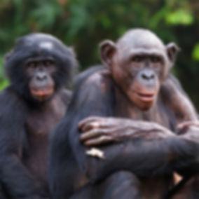 Wildlife Works Mai Ndombe REDD+ Project Bonobos