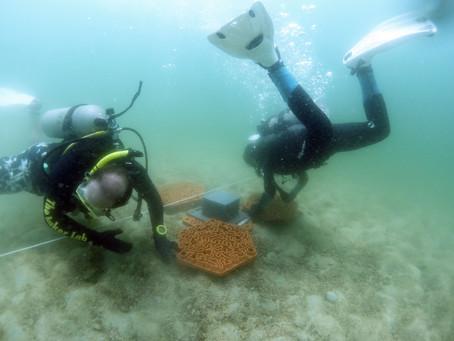 Kendi kendine tutunamayacak mercan parçaları için çapa