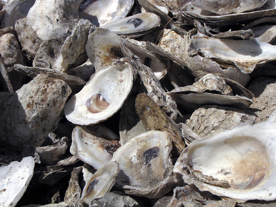Oyster shells up close
