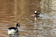 Ducks in the Water