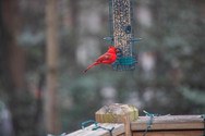 Cardinal Feeder