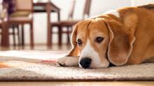 Problemas de salud para humanos que respiran la orina de animales que está en salas y alfombras.