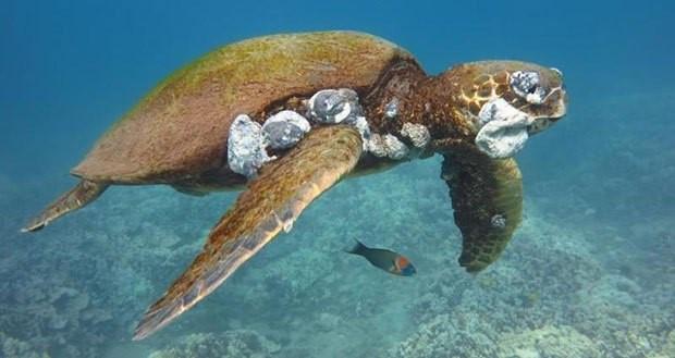 Tartaruga verde juvenil com tumores (crédito: Chris Stankis, Flickr / Bluewavechris)