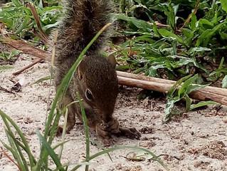 Esquilos no Brasil, eles existem?