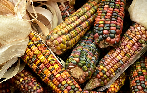 colourful image of traditional indigenous maize