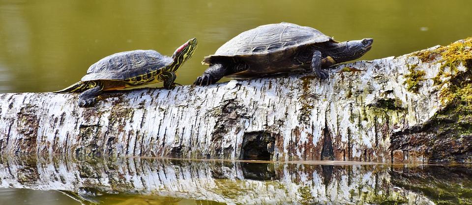 two slider turtles on a birch log