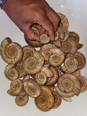Ammonit.jpeg