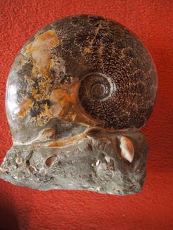 Ammonit Matrix - Fossilmineral