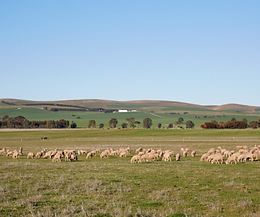 clare valley sheep.PNG