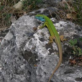 Zöld gyík