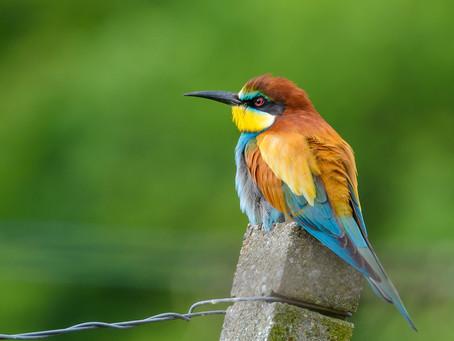 Gyurgyalag, a magyar papagáj